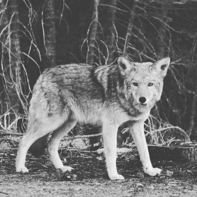 wolf-photo